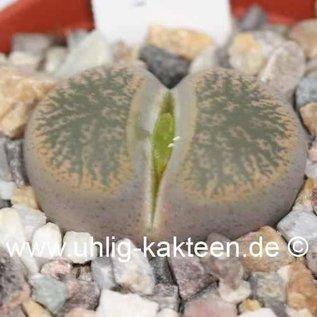 Lithops lesliei v. minor C 006