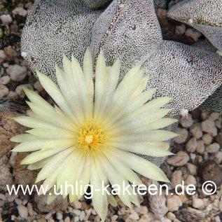 Astrophytum myriostigma v. potosina  (Seeds)