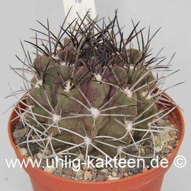 Neochilenia kunzei        (Samen)