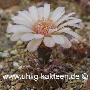 Gymnocalycium ferrarii        (Samen)