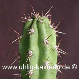 Corryocactus brevistylus   (Samen)