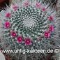 Mammillaria hahniana cv. Pelolargo  (Samen)