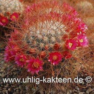 Mammillaria leptacantha cv. Rubriflora  (Samen)