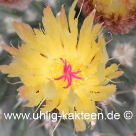 Notocactus buiningii        (Seeds)