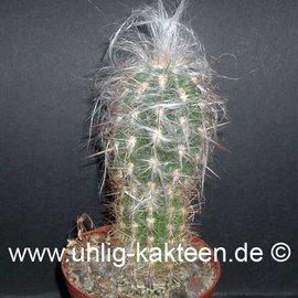 Oreocereus celsianus        (Seeds)