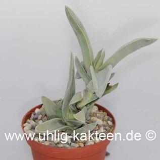 Crassula falcata   (Seeds)