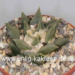 Ariocarpus trigonus Hybr.     CITES, not outside EU