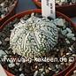 Astrophytum asterias Super Kabuto-Hybr.