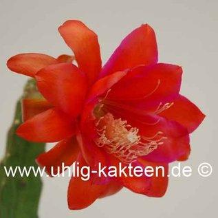 Epiphyllum-Hybr. Bonnie Brae