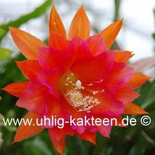 Epiphyllum-Hybr. Ein tolles Ding