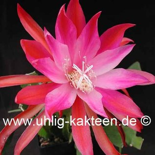 Epiphyllum-Hybr. Gladyce Orange