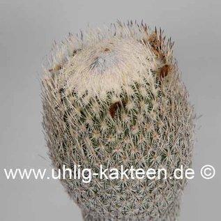 Epithelantha micromeris v. pachyrhiza SB 325 Ramon Arispe, Coahuila, Mexico
