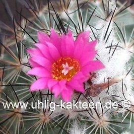 Gymnocactus viereckii L 1159 var. neglegtus Sierra Salamanca, 1000-1300 m, Mexico   CITES