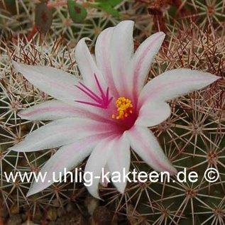 Mammillaria eriacantha
