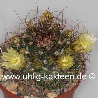 Mammillaria lewisiana   Baja California, Mx