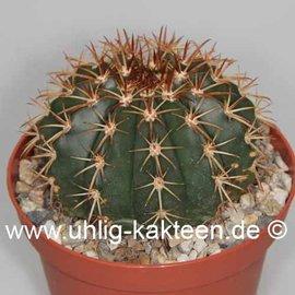 Melocactus disciformis  n.n. (conoideus)    CITES