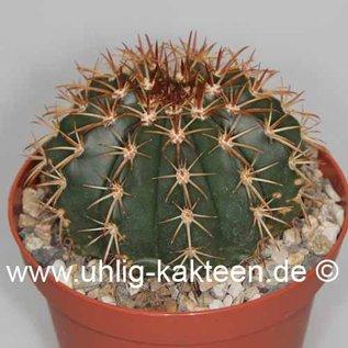 Melocactus disciformis  n.n. (conoideus)    CITES, not outside EU