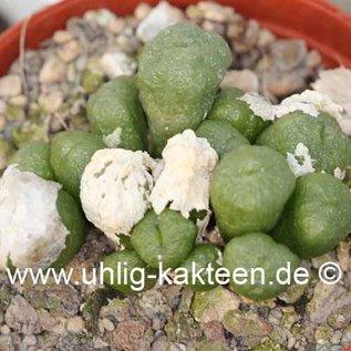 Conophytum velutinum   (syn. ectypum. tischeri)