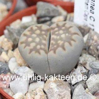 Lithops julii ssp. fulleri var. brunnea C 179 TL