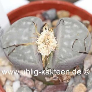 Lithops marmorata v. marmorata (syn. framesii) C 058 TL Typstandort: 45 km OSO Springbok, Northern Cape (SA)