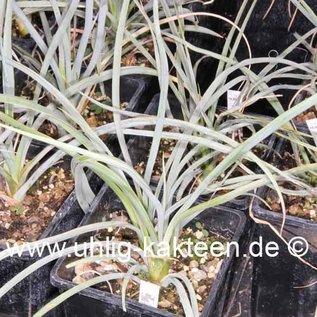 Yucca angustissima  v. kanabensis Kane Co., Utha, 1890 m    (dw)