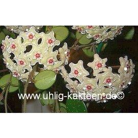 Hoya cv. Mathilde (carnosa x serpens)