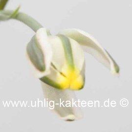 Albuca spec. nov. Lav. 26172  (aff. humilis)