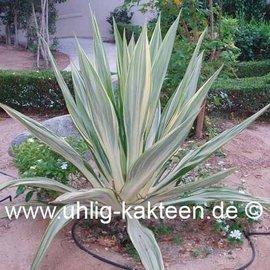 Furcraea foetida  cv. striata