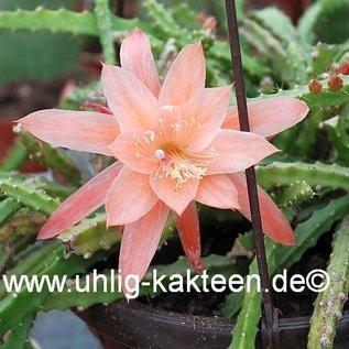Aporophyllum-Hybr. Apricot