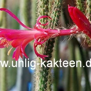Aporocactus flagelliformis-Hybr. Rolfs Beste