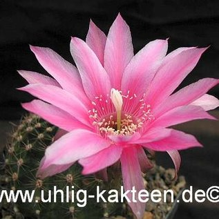 Echinopsis-Hybr. Anna Maria Rheingold 286