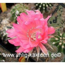 Echinopsis-Hybr. Csardas Rheingold 263