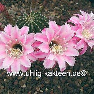 Echinopsis-Hybr. La Paloma A  Rheingold 296