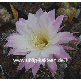 Echinopsis-Hybr. `Lavendel`