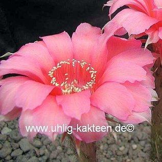 Echinopsis-Hybr. Love Story  Rheingold 230