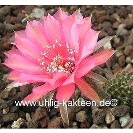 Echinopsis-Hybr. Materna Rheingold 270