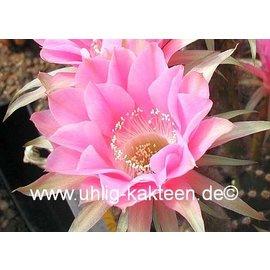 Echinopsis-Hybr. Melodie Rheingold 217