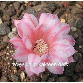 Echinopsis-Hybr. `Paita` Serie 314