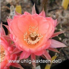 Echinopsis-Hybr. Palpa  Serie 352