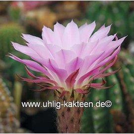 Echinopsis-Hybr. Paramount 9