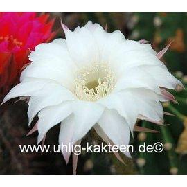 Echinopsis-Hybr. Pik As ?