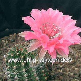 Echinopsis-Hybr. Pop Star  Rheingold 231