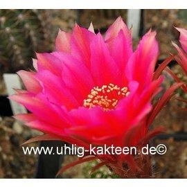 Echinopsis-Hybr. Roth 62