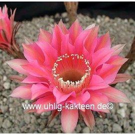 Echinopsis-Hybr. `Roth 69`