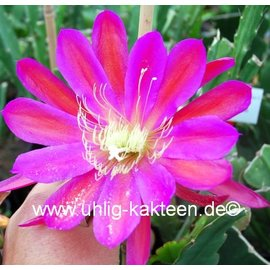 Epiphyllum-Hybr. Chirot Cronat