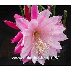 Epiphyllum-Hybr. Daisy Dean
