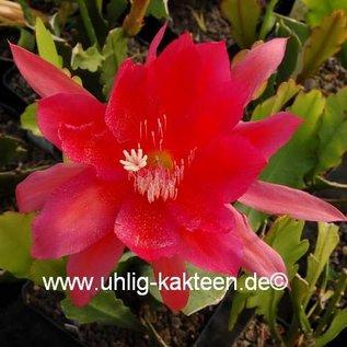 Epiphyllum-Hybr. Dr. Iversen