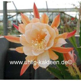 Epiphyllum-Hybr. `Dr. Rudi Dorsch`
