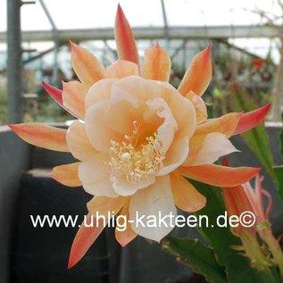 Epiphyllum-Hybr. Dr. Rudi Dorsch