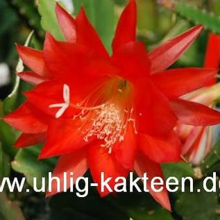 Epiphyllum-Hybr. Felix Paetz